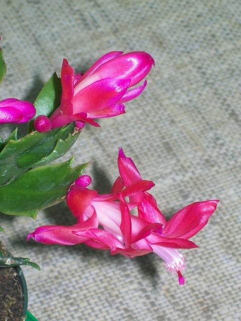 Kaktus Bożonarodzeniowy - Grudnik