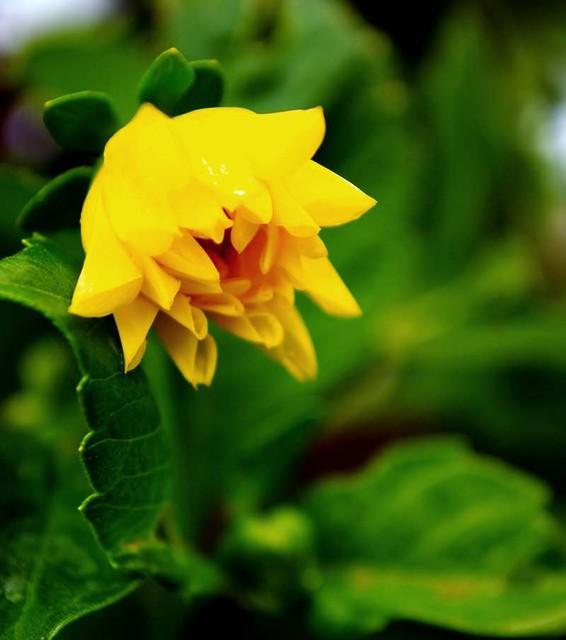 Z pąku zamienie się w kwiat