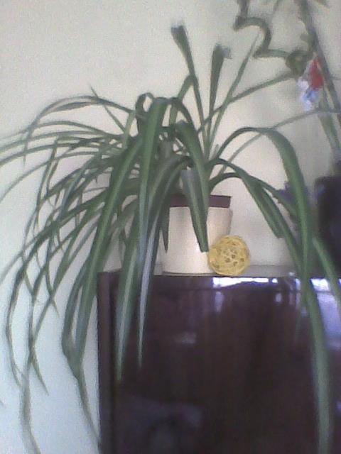 Zielistka- pierwsza roślina jaką hodowalam,teraz mam całą mase