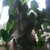 ant.liście