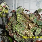 Begonia drobnolistna