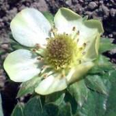 Kwitnąca truskaweczka