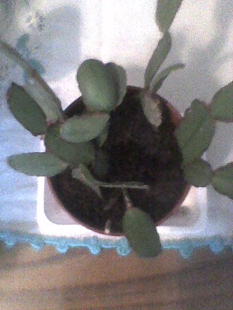 kaktus wielkanocny  posadzony:)