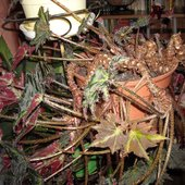 Begonia barszczolistna...