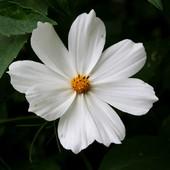 Biały onętek