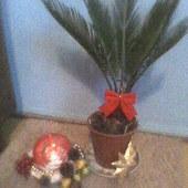 cycas i prezent świeczka