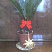 cycas w świątecznej odsłonie:)