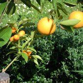 mandarynki i pomarancze na jednym krzewie