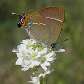 Motyl Na Czwartek
