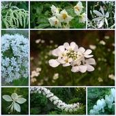 Ogrodowa biel