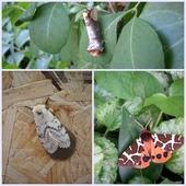 Poszukałam tylko nocne motyle