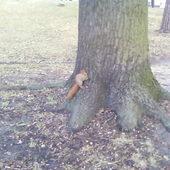 Wiewiórcia czeka na orzeszki