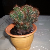 Znaleźny kaktusik