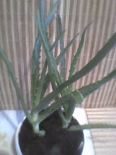 aloes:)