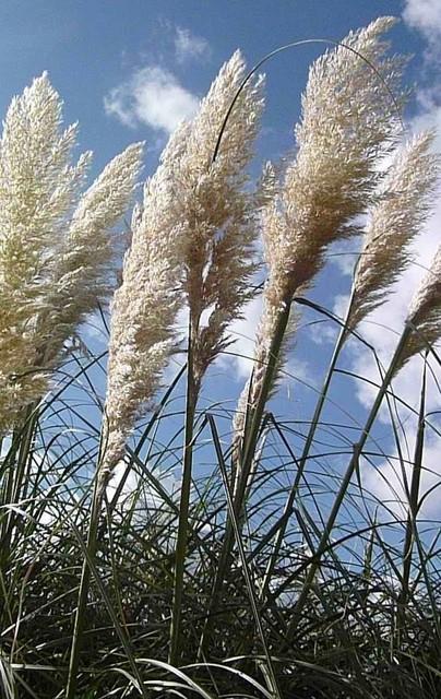 MISKANT-Trawa pampasowa