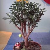 Drzewko szczęścia (Grubosz Drzewiasty)
