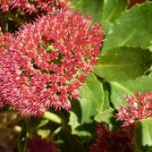 ROZCHODNIK-Faza kwitnienia