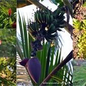 kwiat z owocami....w pełnym........rozkwicie