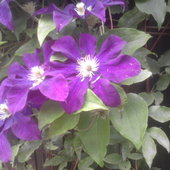 Kwiatek - klematis