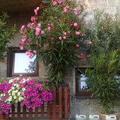oleander i sufinie