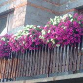 surfinie na południowym balkonie