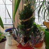 Świąteczny Cyprysik :)