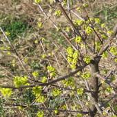 Dereń jadalny ( Cornus mas L.)