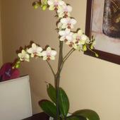 storczyk 35kwiatów