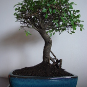 Wiąz drobnolistny (Ulmus parvifolia)