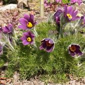 wiosenne pięknotki