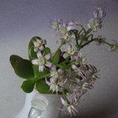 X Kwiat
