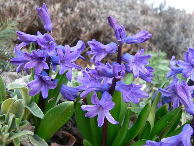 Hiacyntowy zapach w ogrodzie