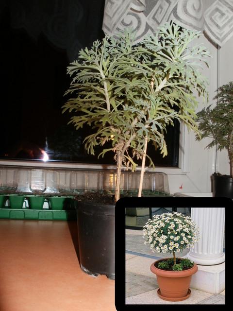 Złocień krzewiasty (Argyranthemum frutescens)