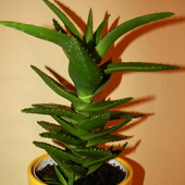 ALOES.