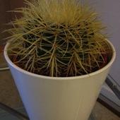 Echinocactus  grusonii - poduszka teściowej