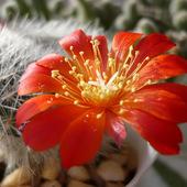 Kwitnące kaktusiki