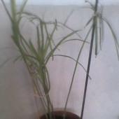 sadzonka papirusu od Alicji (aluksja56)