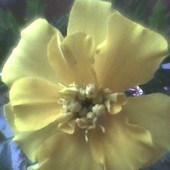 Słoneczko dla Was-oznaka wiosny z mojego parapetu :)
