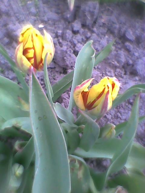 Dziś rozkwitły mini tulipany.