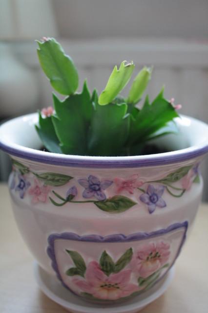kaktus bozonarodzeniowy