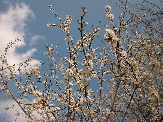 Mirabelkowe kwitnienie