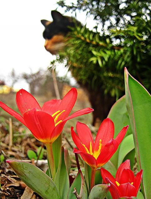 porozkwitały tulipanki .........