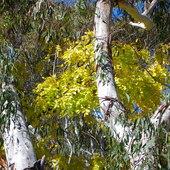 Akacja a objeciach eukaliptusa ;)
