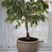 Ficus, fikus benjamin