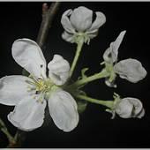 Grażynkom - zakwitły jabłonie ....