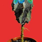 kaktus Joasi zakwitł
