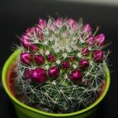 Kaktusik III