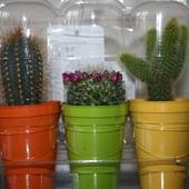Kaktusiki trojaczki :)