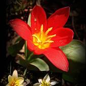 kilka tulipanków ............