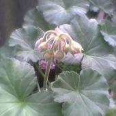 Pelargonia po przesadzeniu puszcza pąki kwiatowe
